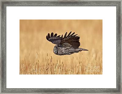 Great Gray Flight Framed Print