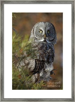 Framed Print featuring the photograph Great Gray Owl  14 by Katie LaSalle-Lowery