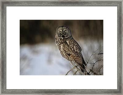 Great Gray Owl 2 Framed Print