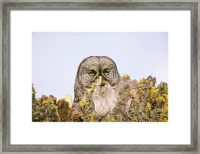 Great Gray Owl At Nest Site Framed Print
