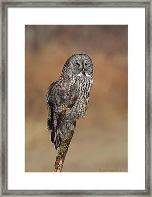 Great Gray Owl Framed Print by Daniel Behm