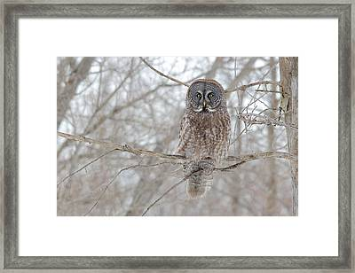 Framed Print featuring the photograph Great Gray Owl by Nature and Wildlife Photography