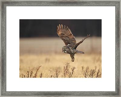 Great Gray Owl Liftoff Framed Print by Daniel Behm