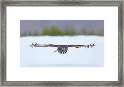 Great Gray Owl On The Hunt Framed Print