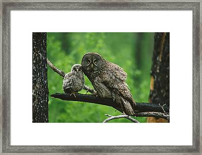Great Gray Owl With Chick Saskatchewan Framed Print