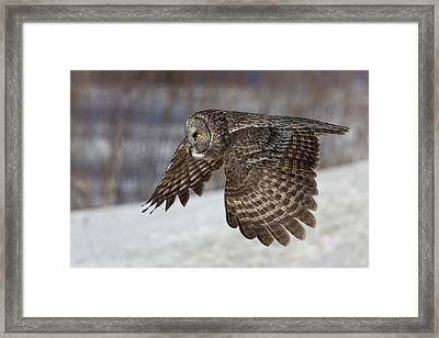 Great Grey Owl In Flight Framed Print by Jakub Sisak