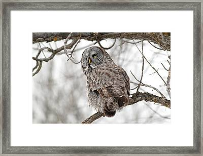 Great Grey Owl Framed Print by William Cooke