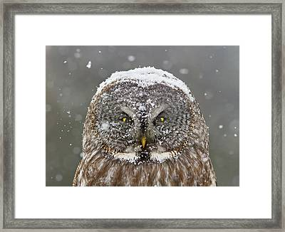 Great Grey Owl Winter Portrait Framed Print