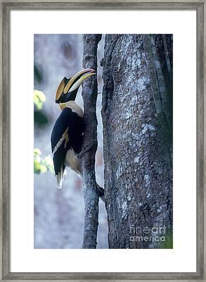 Great Hornbill Framed Print