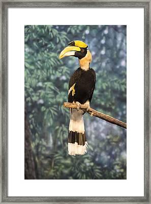 Great Hornbill Framed Print by Becca Buecher