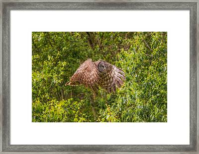Great Horned Owl Framed Print by Laura Bentley