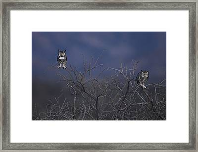 Great Horned Owl Pair At Twilight Framed Print by Daniel Behm