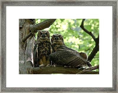 Great Horned Owls Framed Print by Cheryl Baxter