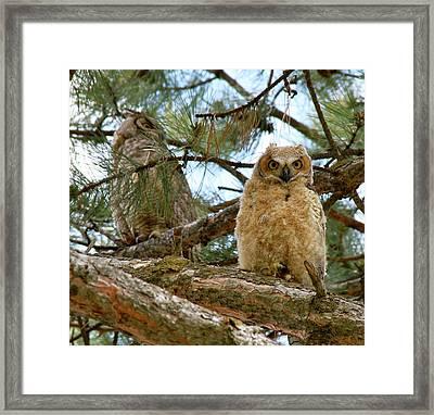 Great Horned Owls Framed Print