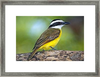 Great Kiskadee On A Branch Framed Print by Science Photo Library