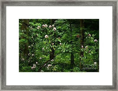 Great Laurel In Bloom Framed Print by Thomas R Fletcher