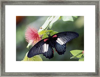 Great Mormon And Mimosa - Fs000581 Framed Print
