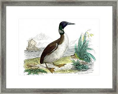 Great Northern Loon Framed Print