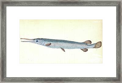 Great, Or Bony Gar-fish, Esox Osseus, British Fishes Framed Print
