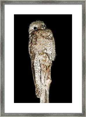Great Potoo On A Post At Night Framed Print by Science Photo Library