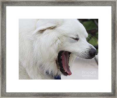 Great Pyrnesse Feelin A Little Tired Framed Print