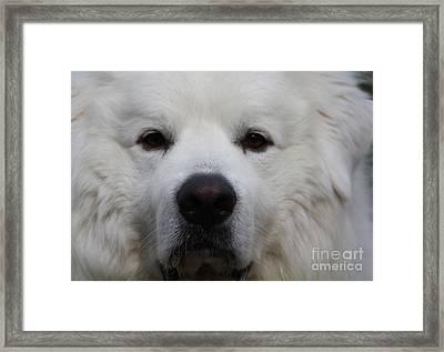Great Pyrnesse Portrait Framed Print