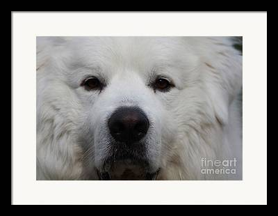 Very Large And Young White Great Pyrnesse Staring Directly Into The Camera Framed Prints