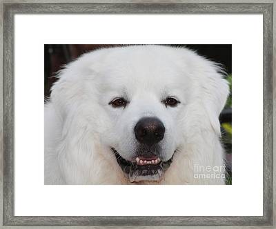 Great Pyrnesse Smiling Framed Print by John Telfer