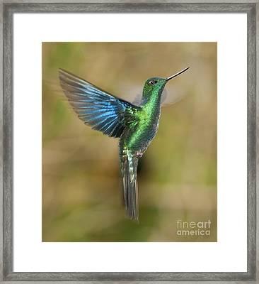 Great Sapphirewing Hummingbird Framed Print by Dan Suzio