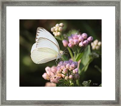 Great Southern White Butterfly On Pink Flowers Framed Print