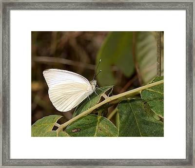 Great Southern White Butterfly Framed Print by Rudy Umans