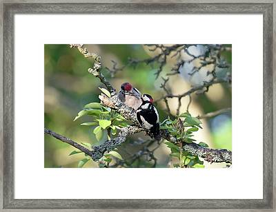 Great Spotted Woodpecker And Chick Framed Print by Dr P. Marazzi