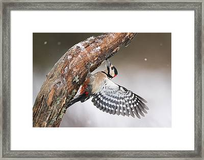 Great Spotted Woodpecker Male Sweden Framed Print by Franka Slothouber
