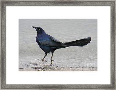 Great-tailed Grackle Wading Framed Print by Bob and Jan Shriner