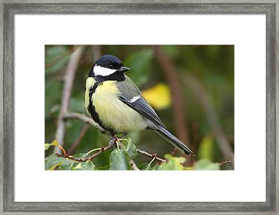 Great Tit Framed Print by Bruce J Robinson