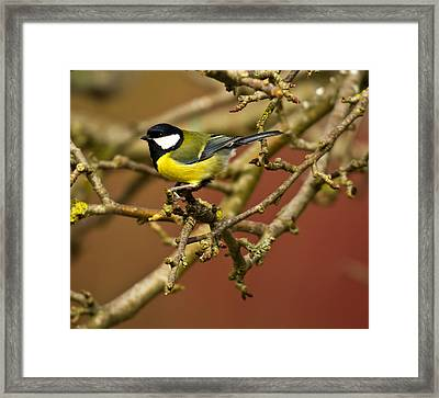 Great Tit Framed Print by Chris Whittle