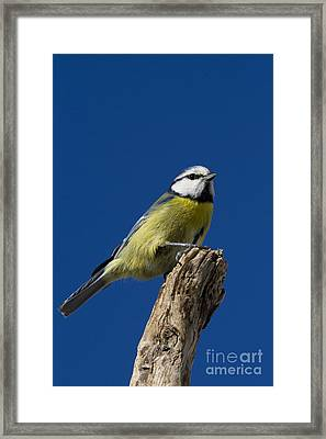 Great Tit On Blue Framed Print by Maurizio Bacciarini