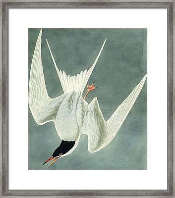 Great Turn Framed Print by John James Audubon