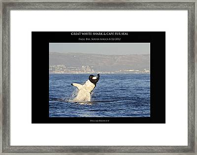 Great White And Seal Framed Print by William Buchheit