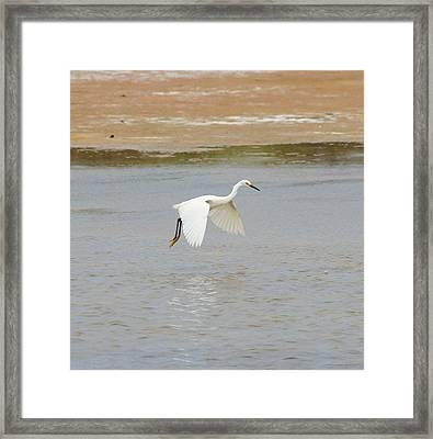 Great White Egret 13 Framed Print
