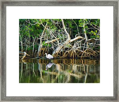 Great White Egret And Reflection In Swamp Mangroves Framed Print