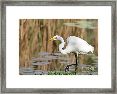 Great White Egret By The River Framed Print by Sabrina L Ryan