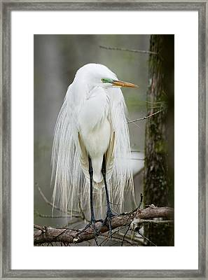 Great White Egret In Mating Plumage Framed Print by Bonnie Barry
