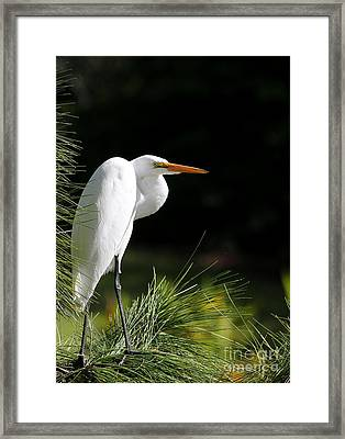 Great White Egret In The Tree Framed Print by Sabrina L Ryan