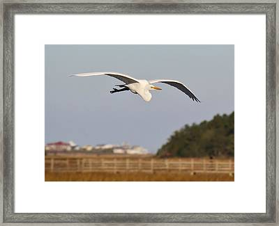 Great White Egret Incoming Framed Print by Paulette Thomas