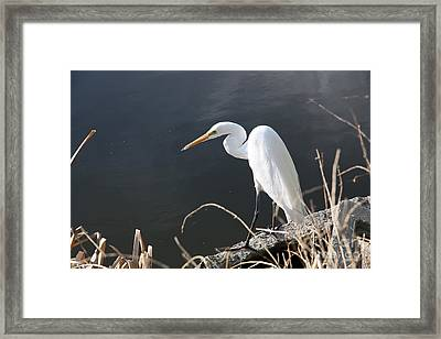 Great White Egret Framed Print by Juan Romagosa