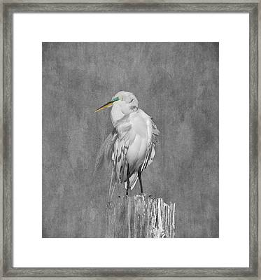 Great White Egret Framed Print by Kim Hojnacki