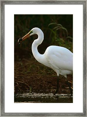 Great White Egret Framed Print by Mark Russell