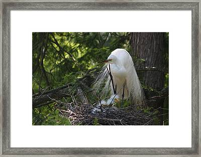 Great White Egret Mom And Chicks II Framed Print by Suzanne Gaff