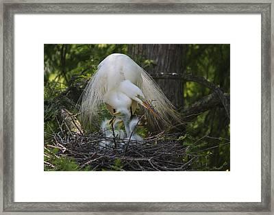 Great White Egret Mom And Chicks Iv Framed Print